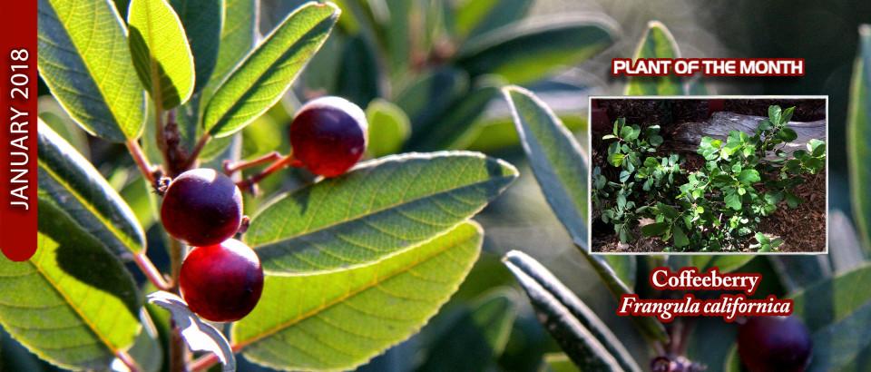Coffeeberry_pop_feature_slider