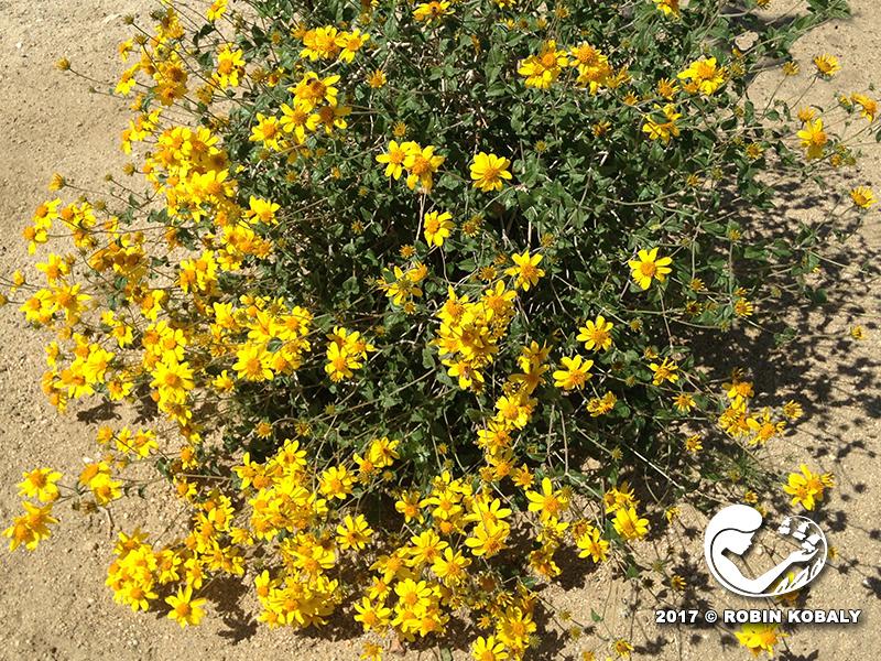 Plant of the month february the power of plants goldeneyeplant5745rkg mightylinksfo