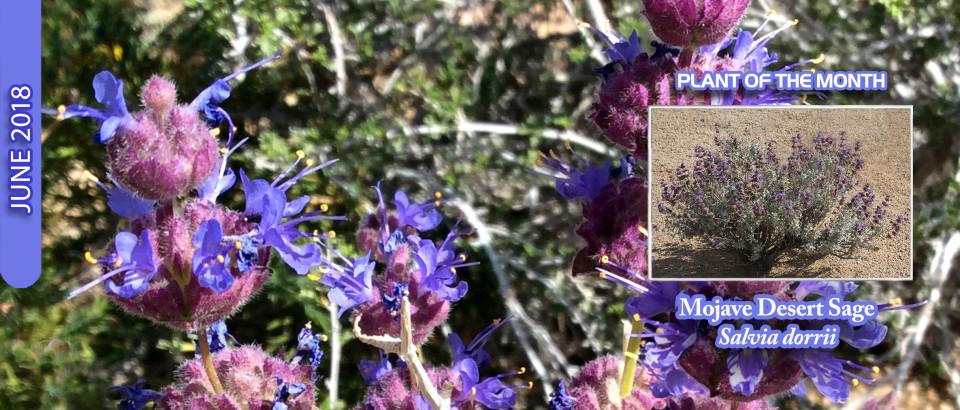 Mojave-Desert-Sage-pop-feature-slider