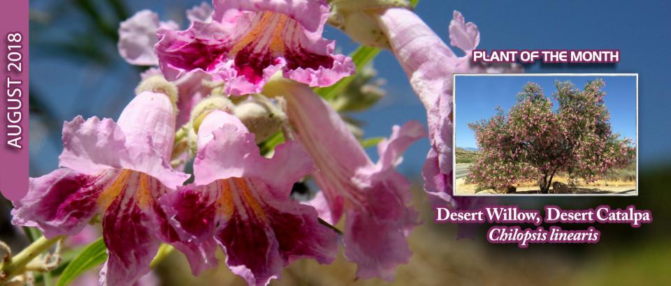 Desert-Willow-pop-feature-slider