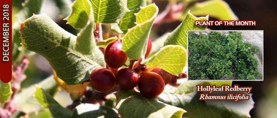 Holly-leaf-Redberry-pop-feature-slider