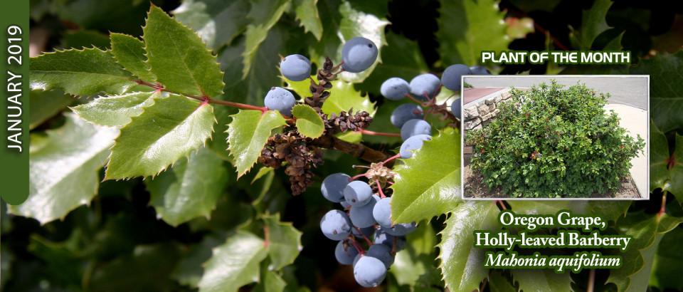 Oregon-Grape_pop-feature-slider