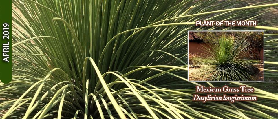 Mexican-Grass-Tree-pop-feature-slider