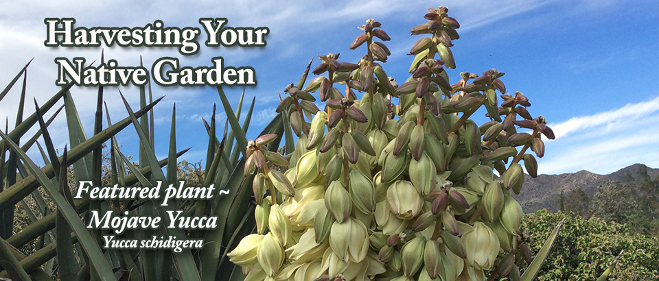 pop-feature-slider-Native-Harvest-May-Mojave-Yucca